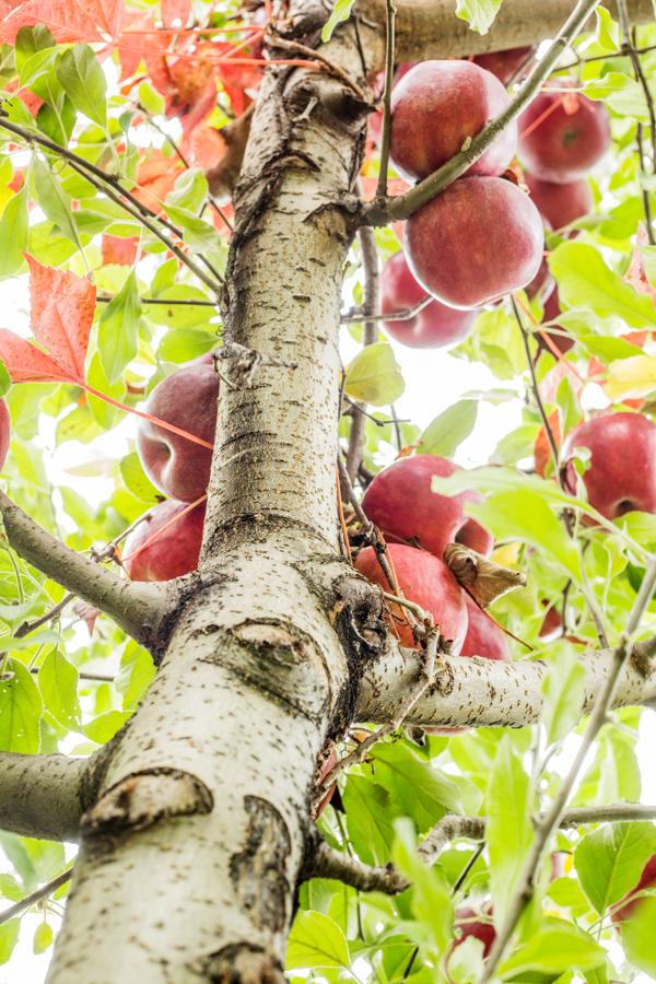 apples-20